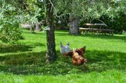chickens at Vital Detox