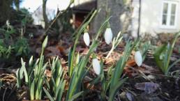 snowdrops at vital detox